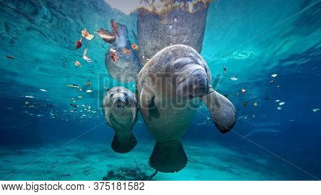 West Indian Manatee Mother And Baby At Three Sisters Springs, Florida, Usa