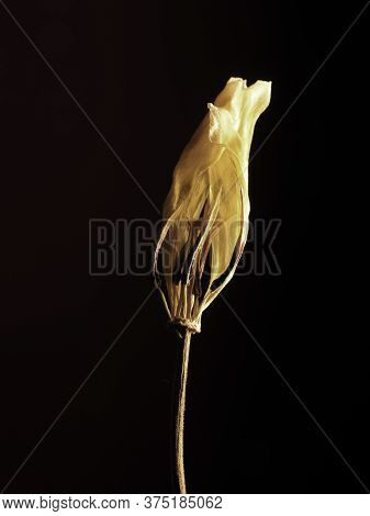 Old Withered Yellow Tulip On A Dark Background, Past Beauty With Abstract Fragility