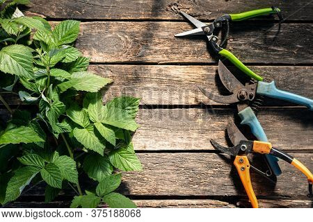 Garden Pruners And Green Leaves Of Raspberry On The Garden Table Background With Copy Space.