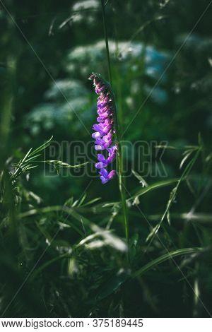 Digitalis. Purple Wild Flower In Dense Green Grass. Macro