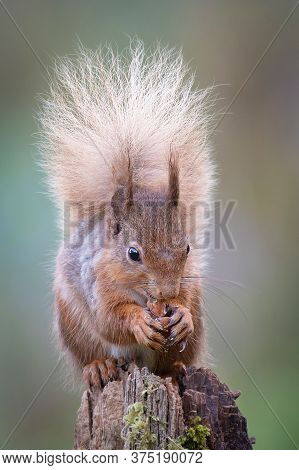 A Portrait Of A Red Squirrel, Sciurus, Vulgaris,  Feeding On A Hazel Nut. It Is Sat On A Post Facing