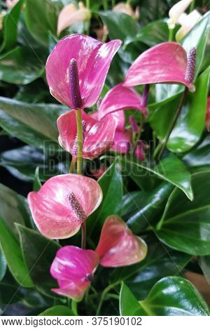 Red Anthurium Flowers As Very Nice Natural Background