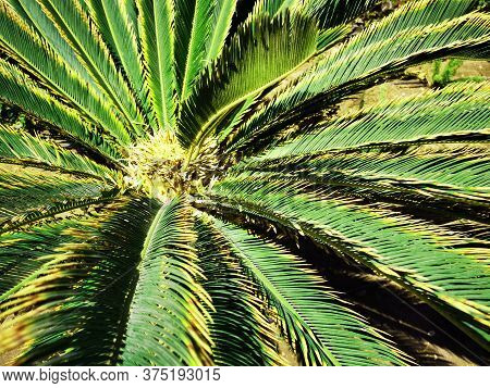 Cycad Palm Texture