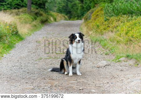 Portrait of Australian Shepherd dog in park. Happy adorable Aussie dog sitting on forest trail. Beautiful adult purebred Dog outdoors in nature.