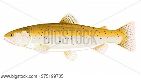 Realistic Brown Trout Fish Isolated Illustration, One Freshwater Fish On Side View