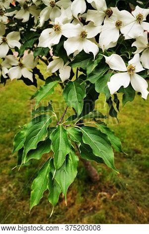 Cronus Cousa Plant Flowers As Very Nice Background