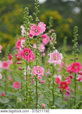 Hollyhock, Althaea Or Perennials Plant Flowers Pink Flower Blooming In Garden On Blurred Of Nature B