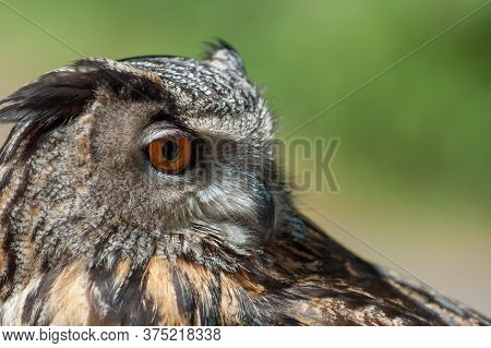 Close Up Of European Eagle Owl With Orange Eyes On Green Background