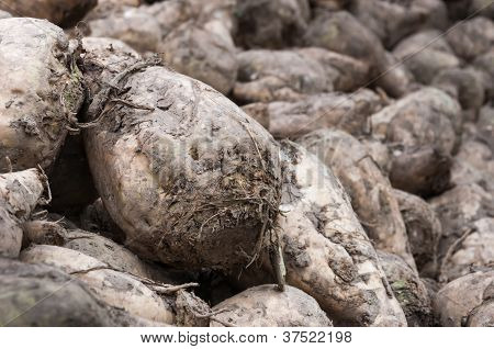 Detailed image of a pile with just harvested sugar beets ready for transport to the sugar refinery. poster