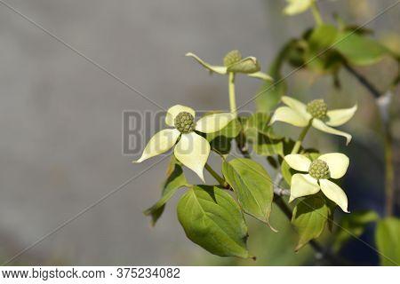 Flowering Dogwood Teutonia - Latin Name - Cornus Kousa Teutonia