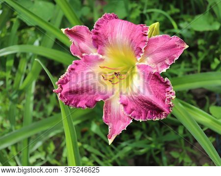 Drink The Light.luxury Flower Daylily In The Garden Close-up. The Daylily Is A Flowering Plant In Th