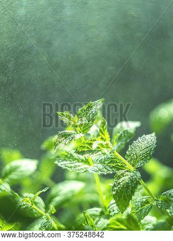 Fresh Mint Leaves In The Garden. Spearmint Peppermint, Herb Garden. Growing Organic Mint Close Up. M
