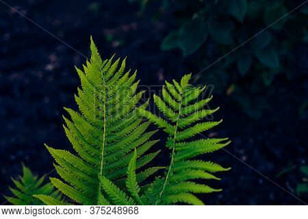 Fern Frond. Growing Leaves Of A Plant