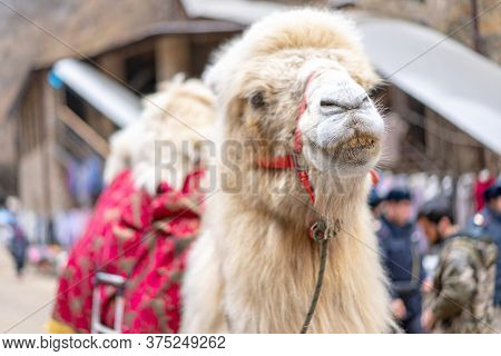 Camel In The City Among People.camel In The City Among People