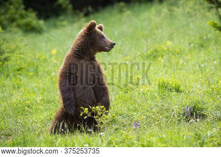 Juvenile Brown Bear Standing On Rear Legs On Meadow In Summertime.
