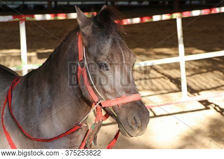 Dark Brown Colored Horse. It Is A Solid-hoofed Plant-eating Domesticated Mammal With A Flowing Mane