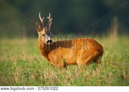 Interested Roe Deer Buck Standing On Field In Summer Sunlight.