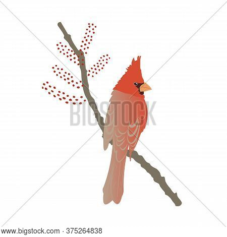 Red Northern Cardinal On Tree Branch, Portrait With Beautiful Plumage. Vector Flat Illustration Isol
