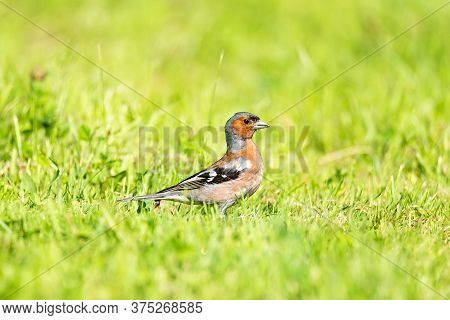 The Common Chaffinch (fringilla Coelebs) Is A Common And Widespread Small Passerine Bird In The Finc
