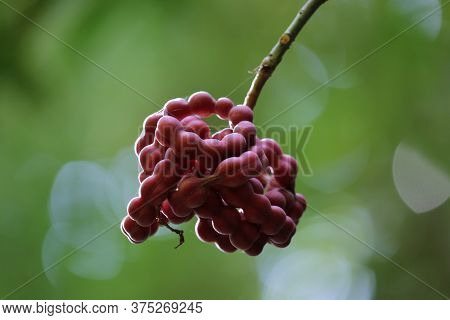 Exotic Fruit In The Corcovado Park In Costa Rica. High Quality Photo