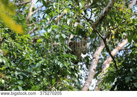 Sloth In The Corcovado Park In Costa Rica. High Quality Photo
