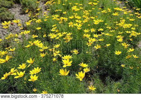 Florescence Of Bright Yellow Coreopsis Verticillata In June