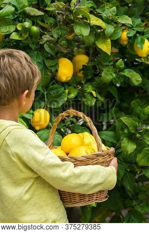 Young Boy Harvesting Lemons From The Lemon Tree In The Private Garden, Orchard. Seasonal, Summer, Au