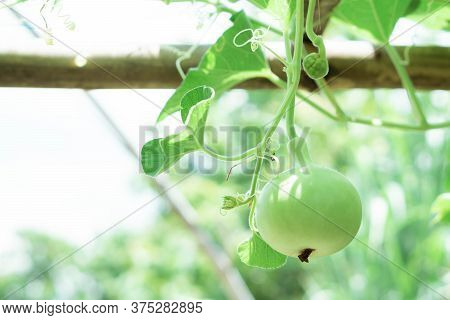 Closeup Green Bottle Gourd Or Calabash Gourd On Branch, Selective Focus