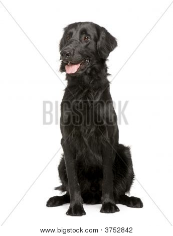 Black Labrador retriever (17 months) in front of white a background poster