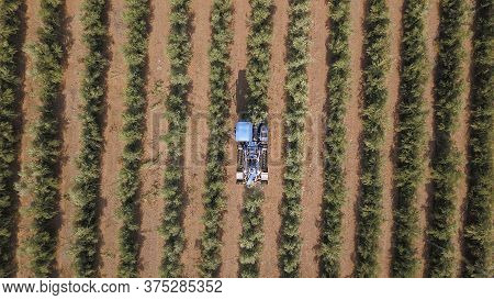 Olive Harvest: Big Blue Combine Harvesting Olives In A Big Olives Plantation. Aerial View Of Picking