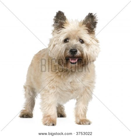 Cairn Terrier (12 years) in front of a white background poster