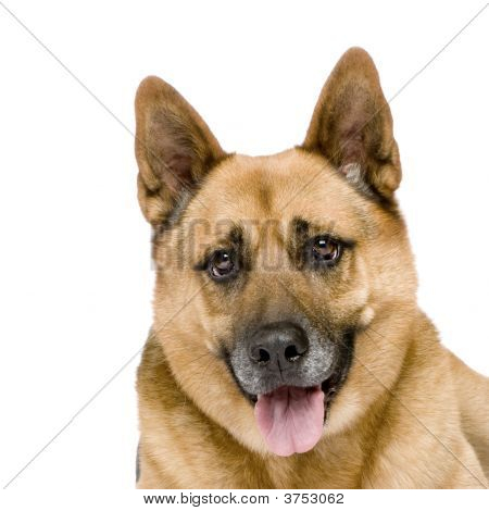 german shepherd (8 years) in front of a white background poster