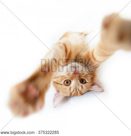 Portrait of tabby ginger cat reach out and trying to touch camera over white background. Cute red cat is played