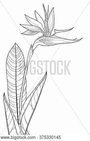 Vector Bouquet Of Outline Tropical Strelitzia Reginae Or Bird Of Paradise Flower Bunch And Ornate Le