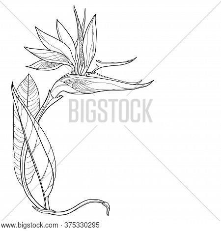 Vector Corner Bouquet Of Outline Tropical Strelitzia Reginae Or Bird Of Paradise Flower And Ornate L