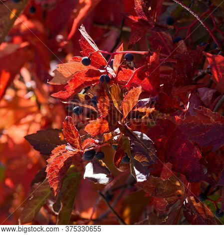 The Colorful Leaves And Berries Of A Virginia Creeper Vine In Autumn.