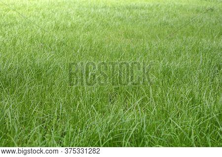 Pasture, Grass Field. Green Grass Background Of Garden Lawn. Natural Yard Landscape Background, Fres