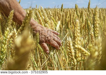 The Farmer Touches The Wheat Spikelets With His Hand.sunny Field Of Grain Crops