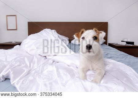Jack Russell Dog Is Lying On A Bed In A Room On White Bed Linen