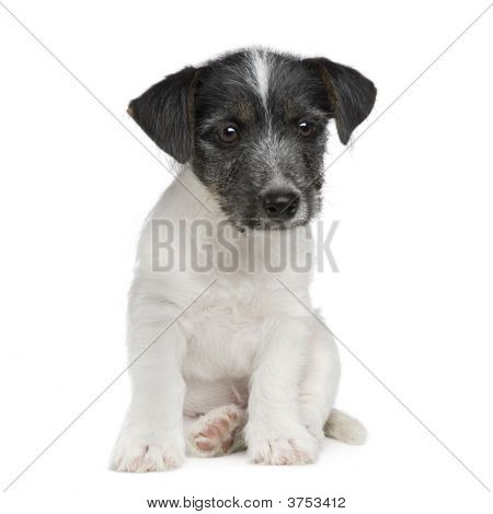 Puppy Jack Russell