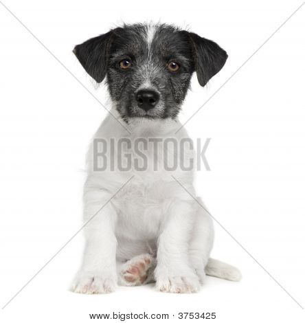 puppy Jack russell (11 weeks) in front of a white background poster