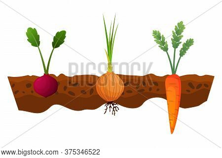 Vegetables Growing In The Ground. One Line Onion, Carrot. Plants Showing Root Structure Below Ground