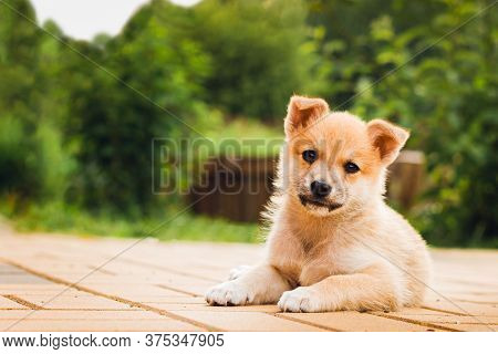 Stray Dog Puppy Lies On The Pavement With A Sad Look. Sad Puppy. Selective Focus