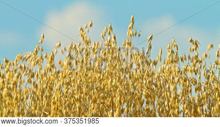 Common Oat (avena Sativa) Close Up Against A Blue Sky