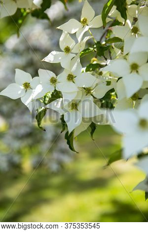 Flowering Dogwood Trees Close Up With White Flowers