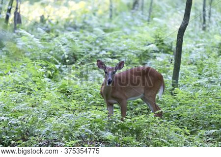 Young White Tailed Deer.  Natural Scene  From  Wisconsin State Park