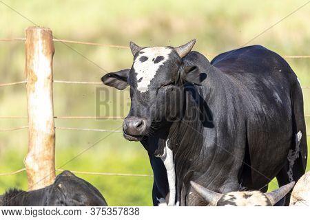 Portrait Ox Bull Black Animal Livestock
