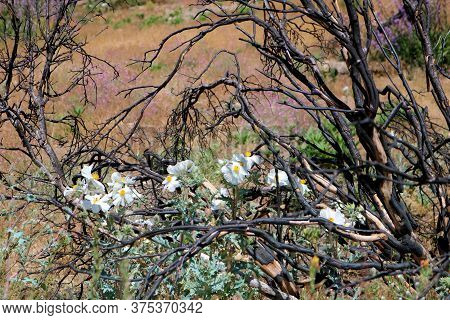 Matilija Poppy Plant Flower Blossoms Besides Charcoaled Burnt Branches Caused From A Past Wildfire O