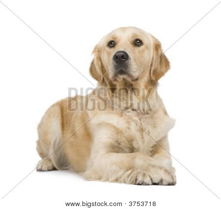 Golden Retriever (2 years) in front of a white background poster