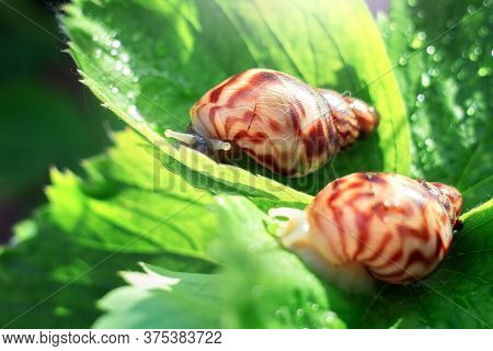 Two Snails Are Sitting On A Leaf Of Strawberry On A Sunny Day. Gastropods Crawl Along The Dew